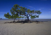 South Cowie Beach mangrove