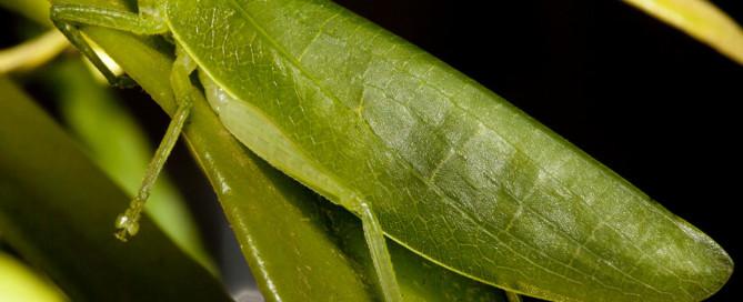 Acauloplacella queenslandica