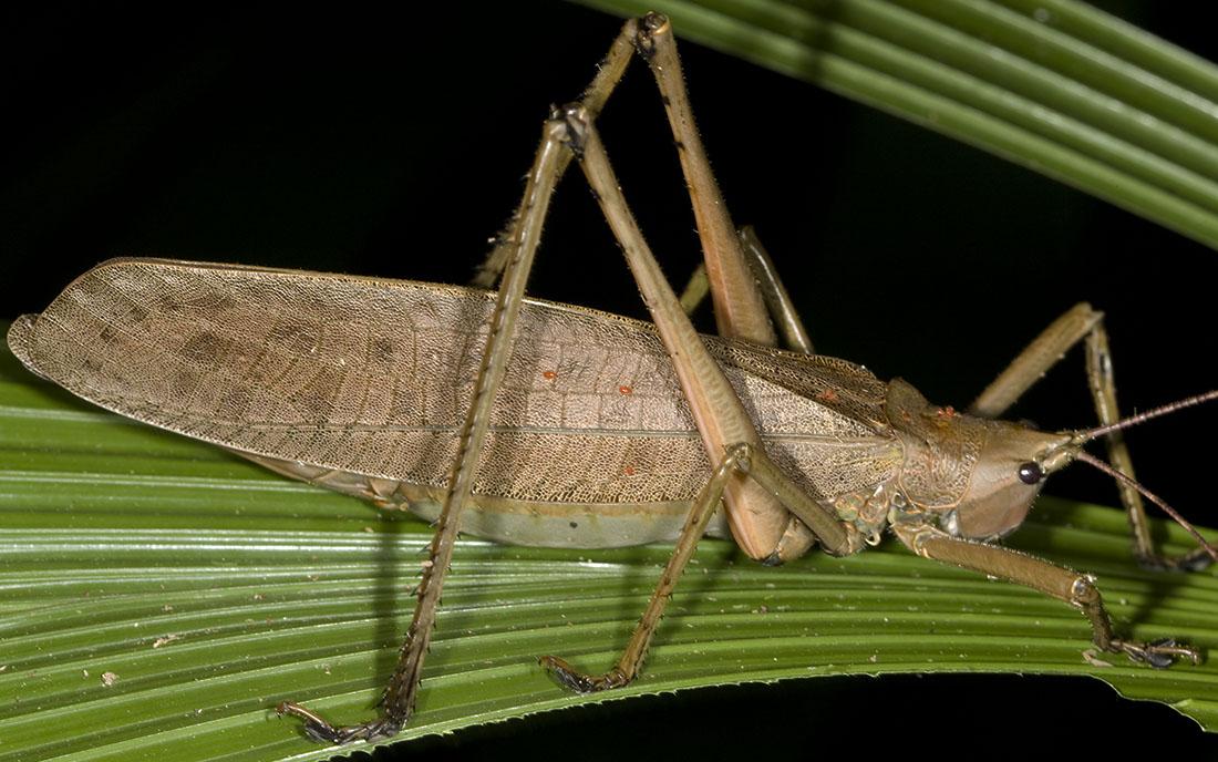 Palm Katydid