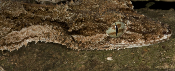 Saltuarius cornutus
