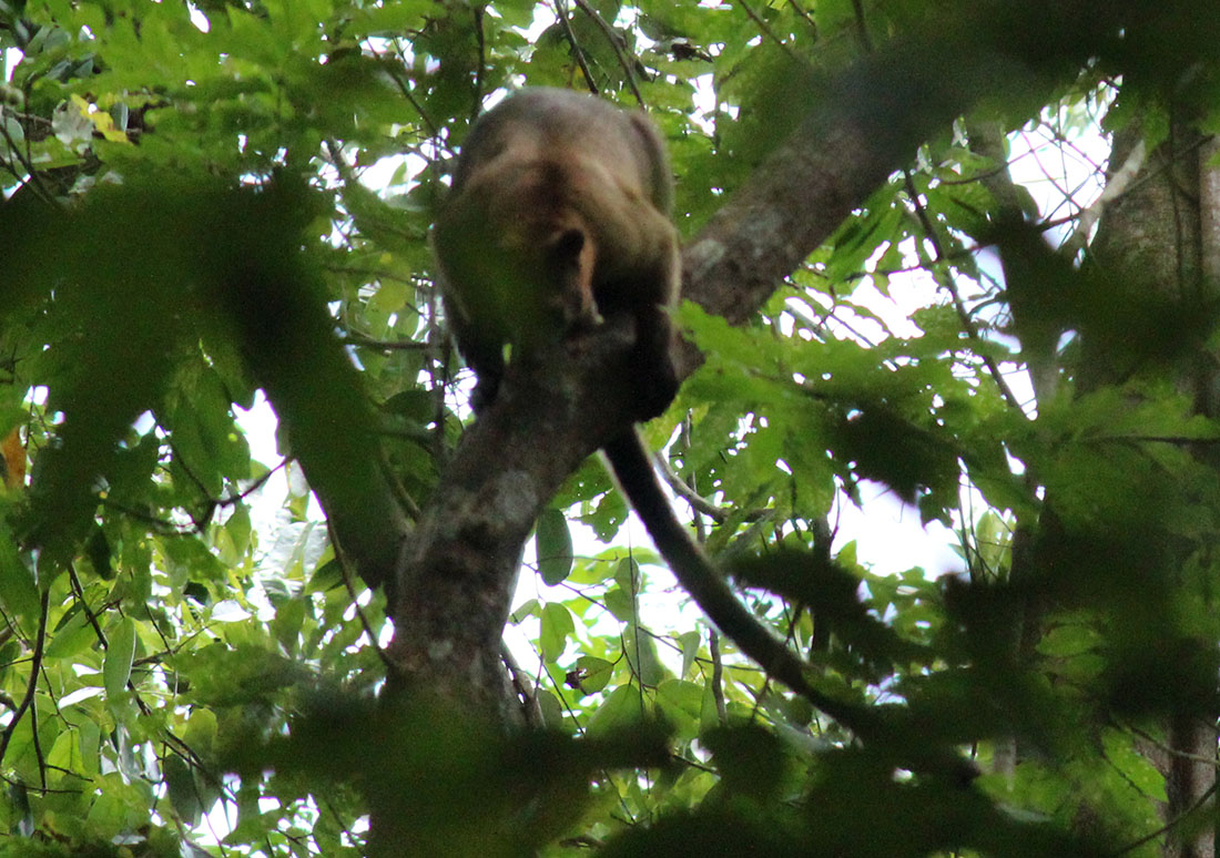 Bennett's Tree-kangaroo