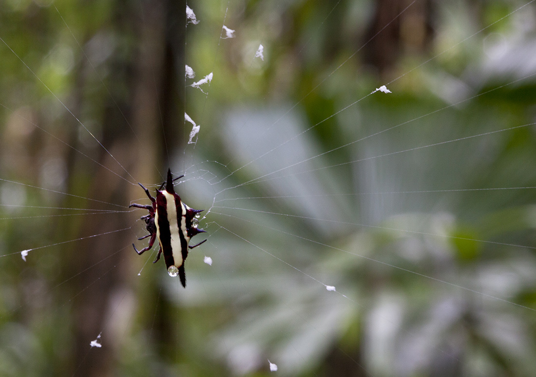 Northern Jewelled Spider (Gasteracantha fornicata)