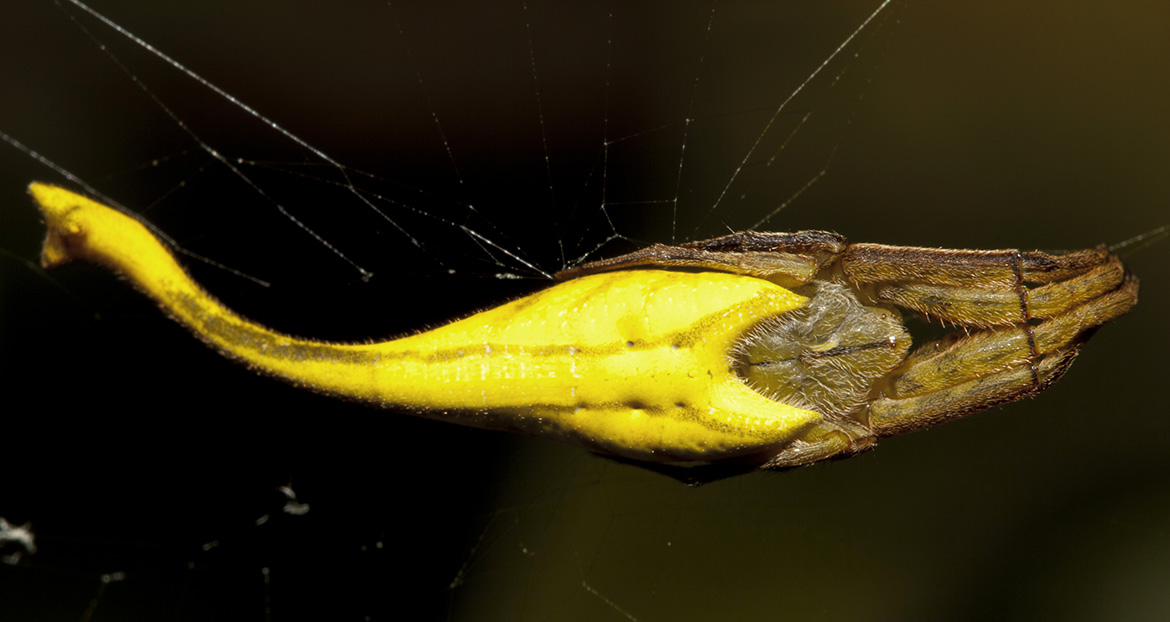 Scorpion-tailed Spider