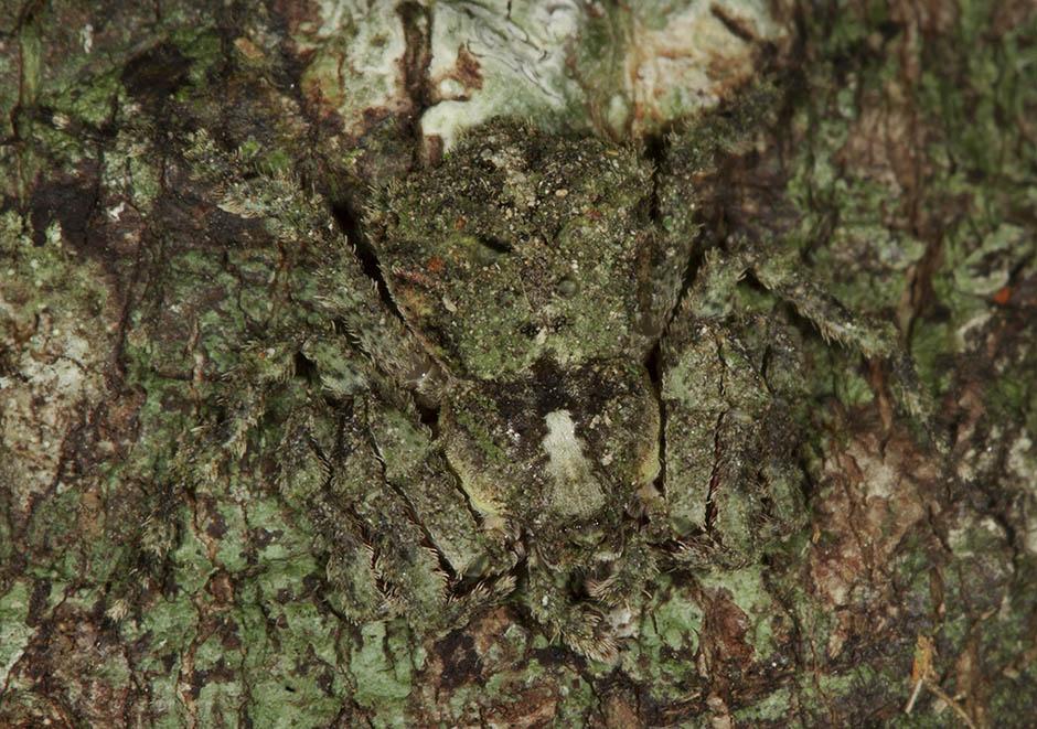 Stephanopis putulosa