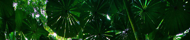 Grand Fan Palm Gallery