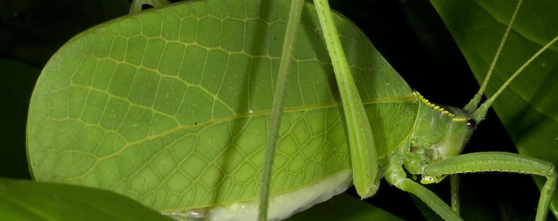 Mastigaphoides