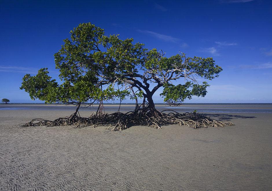 South Cowie Beach mangrove