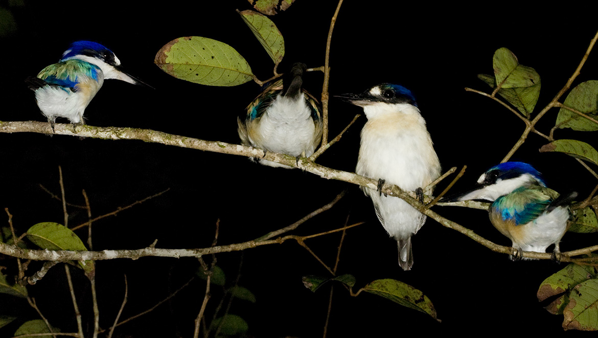 Forest Kingfishers