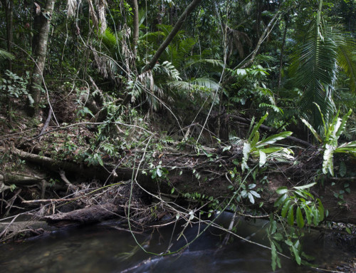 Mahogany bridges tenures in the Daintree