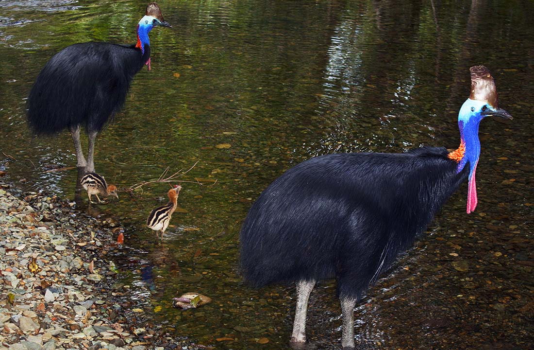 Daintree Cassowaries