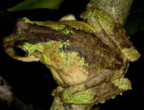 Daintree Tree Frogs