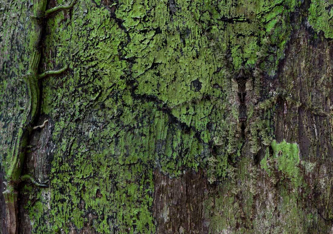 Pandercetes gracilis