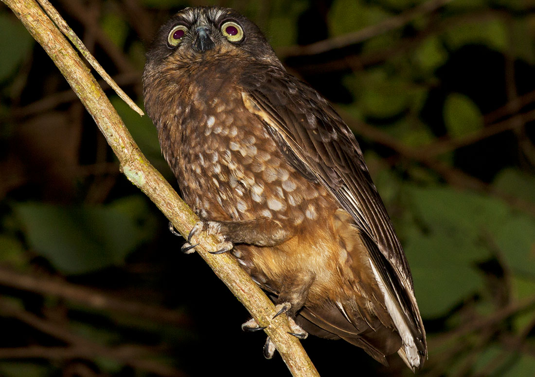 Red Boobook Owl