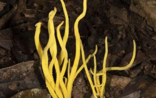 Daintree fungi